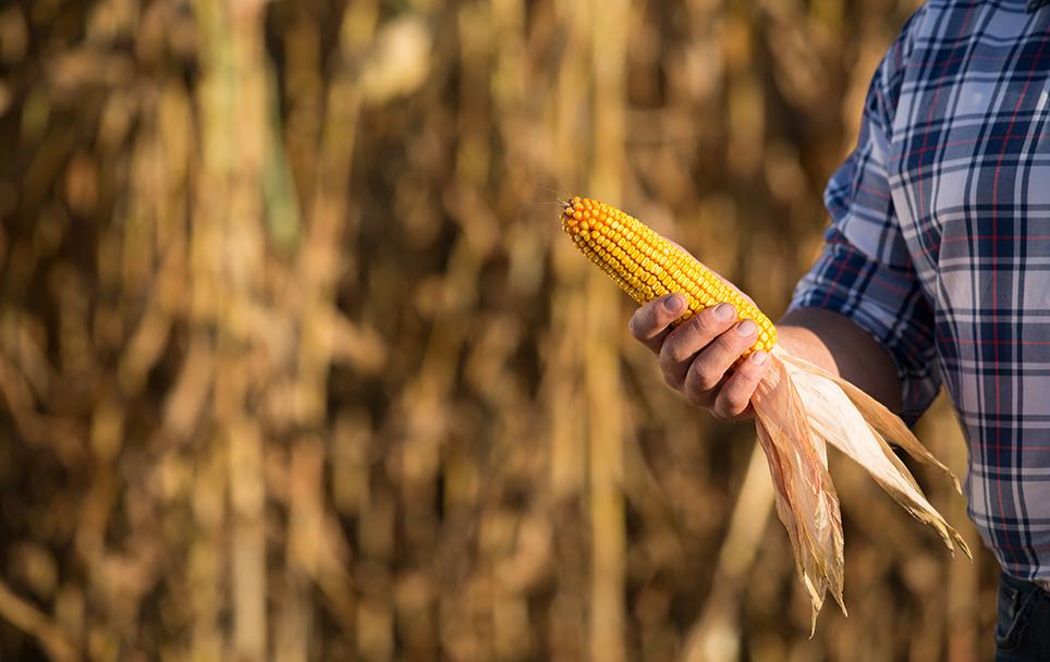 Maiskolben vor einem Erntereifen Maisfeld in der Hand eines Landwirts mit kariertem Hemd
